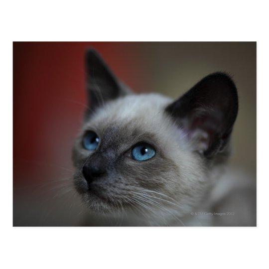 Siamese kitten postcard