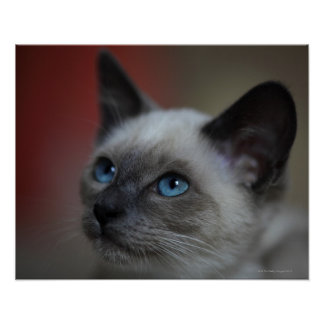 Siamese kitten poster