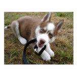 Siberian Husky (1) Post Card
