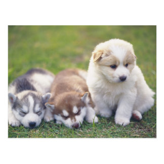Siberian Husky; A working dog breed that Postcard