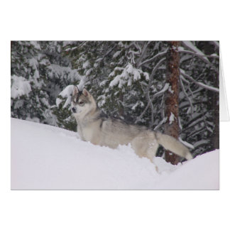 Siberian Husky Blank Notecards Card