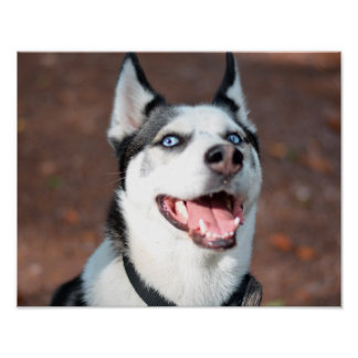 Siberian Husky dog blue eyes Poster