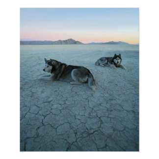 Siberian Husky Dogs, Global Warming Poster
