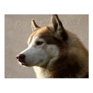 Siberian Husky Dogs Postcard