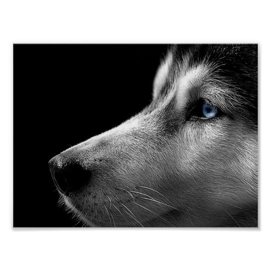 Siberian Husky Face Poster