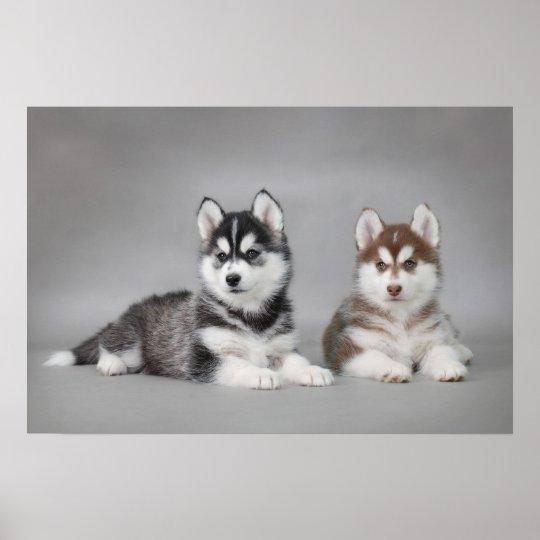 Siberian husky puppies poster