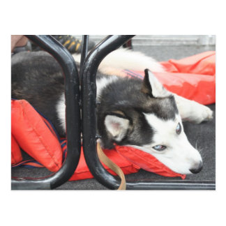 Siberian Husky trying to nap on a boat. Postcard
