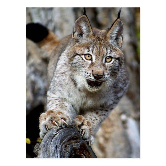 Siberian Lynx - Ready to Pounce Postcard