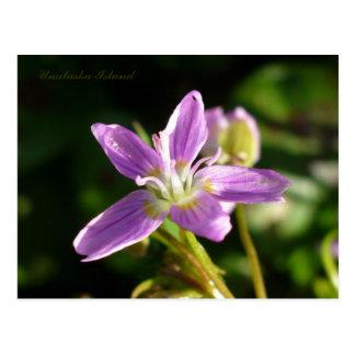 Siberian Spring Beauty, Unalaska Island Postcard