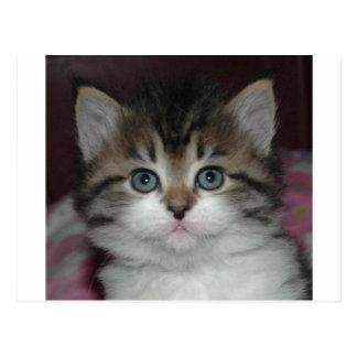 Siberian Tabby/White Kitten Postcard