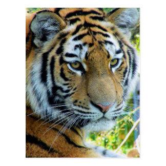Siberian Tiger, Amur Tiger Postcard