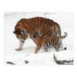 Siberian Tiger and Cub Post Card