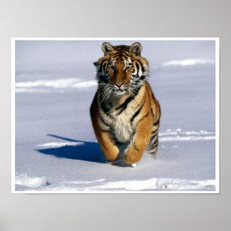Siberian Tiger Charging Art Print Poster