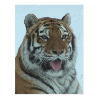 Siberian Tiger Close Up Face 2 Postcard
