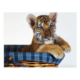 Siberian Tiger Cub in basket Postcard