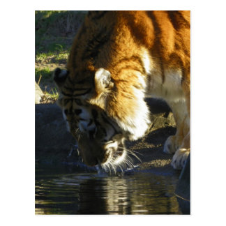 Siberian Tiger Drinking Post Card