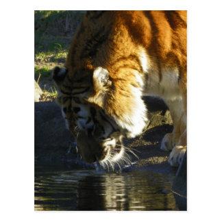 Siberian Tiger Drinking Postcard