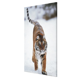 Siberian Tiger In Snow Canvas Print