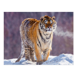 Siberian tiger in snow, China Postcard