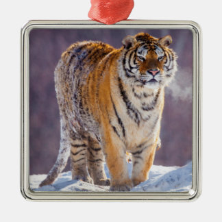 Siberian tiger in snow, China Silver-Colored Square Decoration