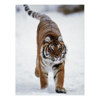 Siberian Tiger In Snow Postcard