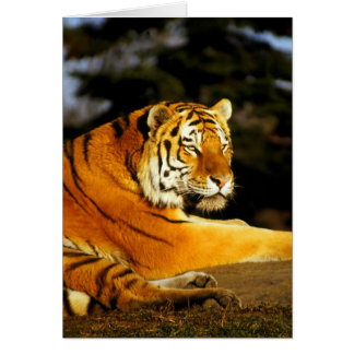 Siberian Tiger in the evening Cards