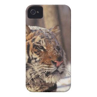 Siberian tiger iPhone 4 Case-Mate case