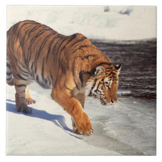Siberian tiger large square tile