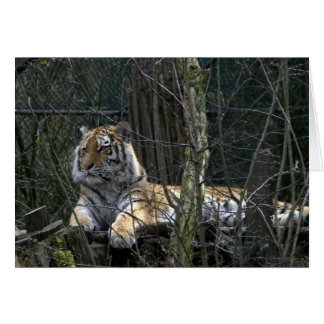Siberian tiger note card