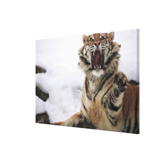 Siberian Tiger (Panthera tigris altaica) 2 Canvas Print
