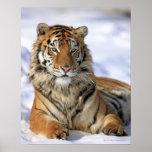 Siberian Tiger, Panthera tigris altaica, Asia,
