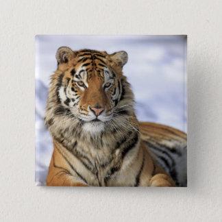 Siberian Tiger, Panthera tigris altaica, Asia 15 Cm Square Badge