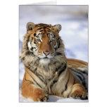 Siberian Tiger, Panthera tigris altaica, Asia, Cards