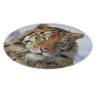 Siberian Tiger, Panthera tigris altaica, Asia Cutting Board