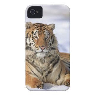 Siberian Tiger, Panthera tigris altaica, Asia, iPhone 4 Case-Mate Case