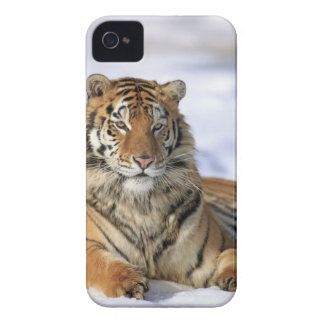 Siberian Tiger, Panthera tigris altaica, Asia, iPhone 4 Case-Mate Case