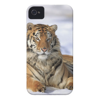 Siberian Tiger, Panthera tigris altaica, Asia, iPhone 4 Cases