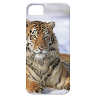 Siberian Tiger, Panthera tigris altaica, Asia, iPhone 5 Case