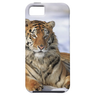 Siberian Tiger, Panthera tigris altaica, Asia, iPhone 5 Cases