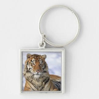 Siberian Tiger, Panthera tigris altaica, Asia, Key Ring