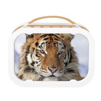 Siberian Tiger, Panthera tigris altaica, Asia Lunchboxes