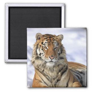 Siberian Tiger, Panthera tigris altaica, Asia Fridge Magnet