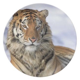 Siberian Tiger, Panthera tigris altaica, Asia, Plate