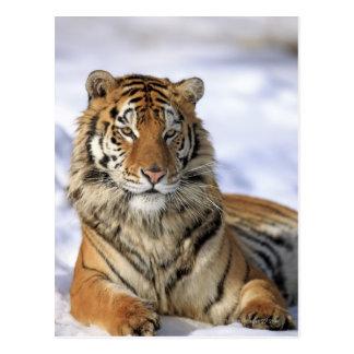 Siberian Tiger, Panthera tigris altaica, Asia Postcard