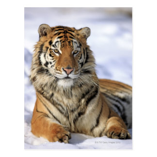 Siberian Tiger, Panthera tigris altaica, Asia, Post Card