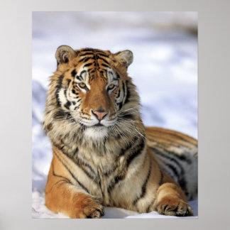 Siberian Tiger, Panthera tigris altaica, Asia Poster