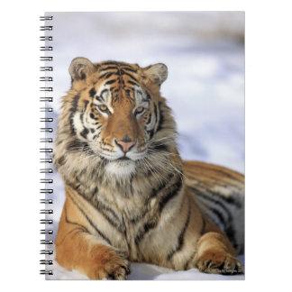 Siberian Tiger, Panthera tigris altaica, Asia, Spiral Notebook