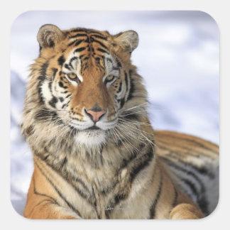 Siberian Tiger, Panthera tigris altaica, Asia Square Sticker