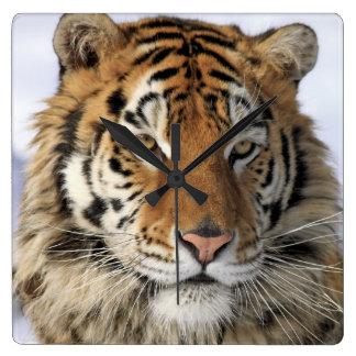 Siberian Tiger, Panthera tigris altaica, Asia Square Wall Clock
