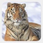 Siberian Tiger, Panthera tigris altaica, Asia, Square Stickers